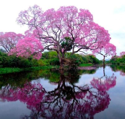 Pink Trumpet tree...a miracle from Brazil.