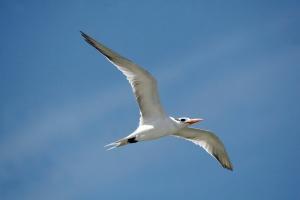 White-Bird-Flying
